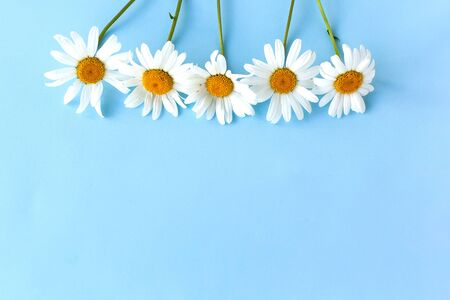 Flowers composition. Chamomile flowers on pastel blue background. Spring, summer concept. Flat lay, top view, copy space Zdjęcie Seryjne