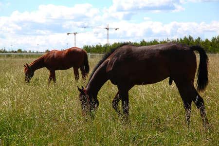 portrait of a chestnut horse in a summer field Zdjęcie Seryjne
