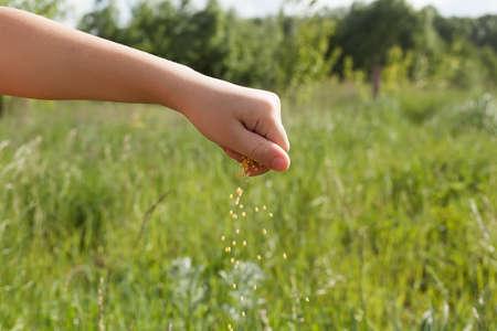 farmer hands seeding wheat and maize