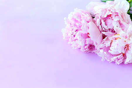 Beautiful pink pion-shaped rose. Bouquet Shrub roses on pink background. Copy space