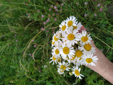 girl holds a camomile in hands in the meadow, white daisies, camomile background Zdjęcie Seryjne