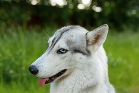 Cute funny Siberian Husky dog at home. Portrait of young beautiful funny husky dog.