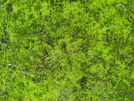 Moss texture. Moss background. Green moss on grunge texture, background. Zdjęcie Seryjne
