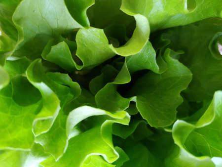 Fresh green lettuce leaves. Good nutrition. Greens from the garden