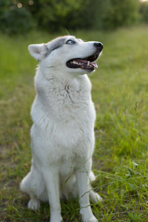 Husky portrait. Young husky dog for a walk in the park in autumn. Husky breed. Light fluffy dog. Walk with the dog.