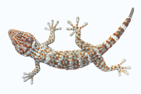 bugaboo: Gecko  isolated on white background (top view)
