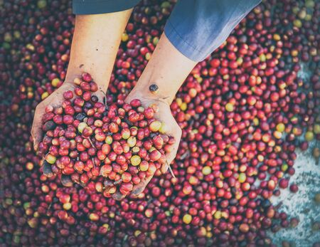 Fresh red raw berries coffee beans arabica agriculturist hands .Organic coffee beans agriculture harvesting farmer concept.vintage toned