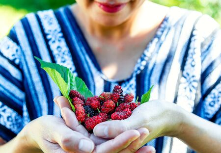 Fresh organic ripe mulberries in the hands .Tasty Sweet berry in farm agriculture concept. Stock Photo