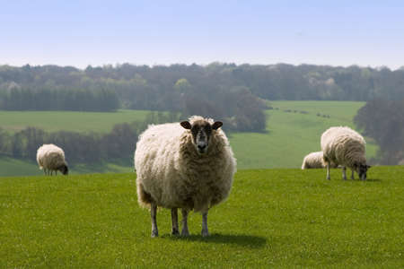 tranquille: Sheeps in the sunny field eating grass and one watching