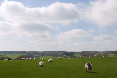 tranquille: Herd of ships in a sunny field