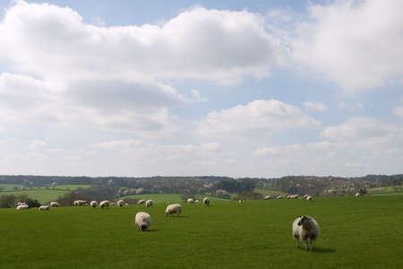 Herd of ships in a sunny field
