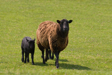 Mum and baby sheep in a field