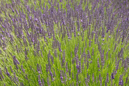 Bright sunny lavender shoots