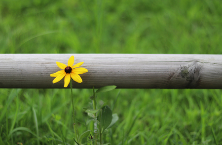 A Coreopsis in a field.