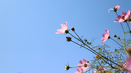 Fall sky and cosmos. Stock Photo