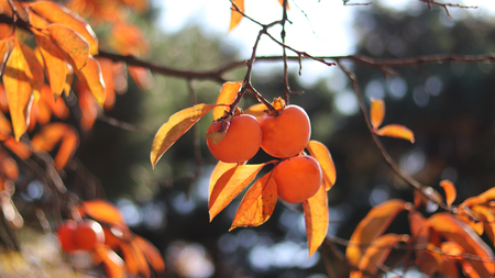 Persimmon tree at autumn. 스톡 콘텐츠