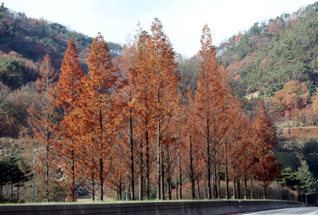 The reds trees of the road.