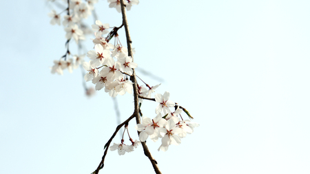 Cherry blossom in the lush sky. Stock Photo