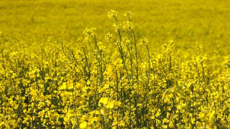 The scenery of yellow rape flowers in full bloom.