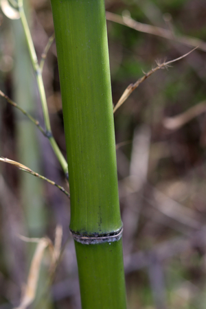 Bamboo growing green and straight.