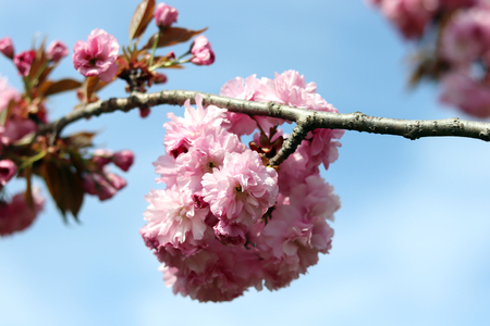 King cherry blossom in full bloom on the blue sky background. King cherry blossom and spring season.