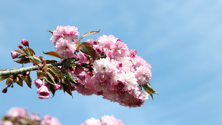 King cherry blossom and spring season. The weather is definitely warming up, and the smell of spring has arrived. 版權商用圖片
