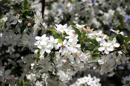 Pear blossom and spring season.