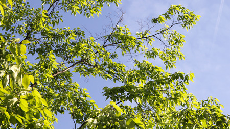 Spring scenery with green leaves of zelkova tree.