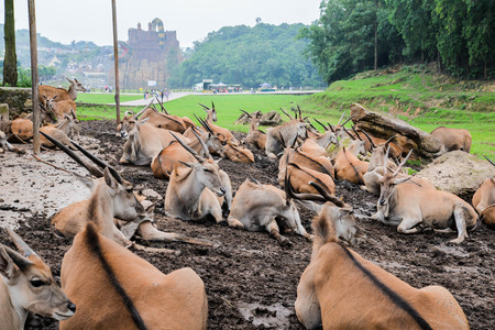 Common elands resting at an outdoor park Stock Photo