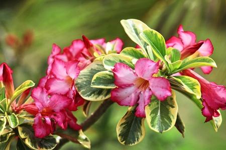 Adenium red flowers in Thailand photo