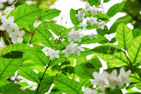 Mok white flowers, very fragrant  photo