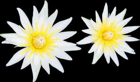 twin white lotus photo