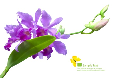 Orchid, isolated on a white background   Stock Photo