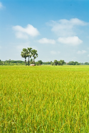 Green rice field in Thailand  Stock Photo - 10987161