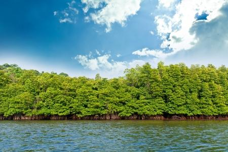 mangroves: Mangrove forest