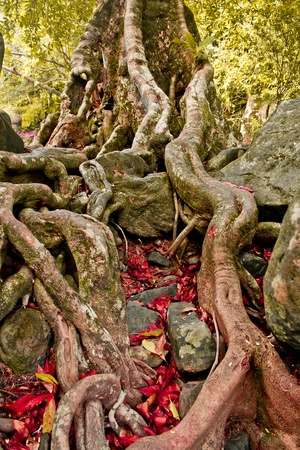face in tree bark: The roots of the trees are located on the Stone Stock Photo