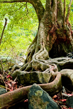 The roots of the trees are located on the Stone Stock Photo - 13127637