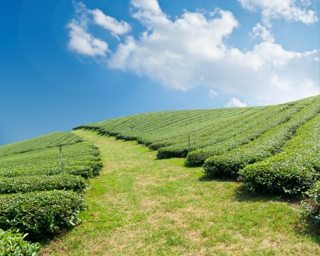 Green tea farm on a hillside  photo