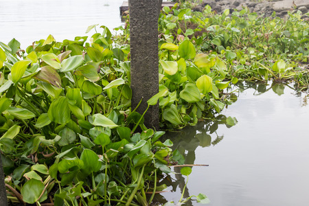 invasive plant: Water hyacinth floating on the river Stock Photo