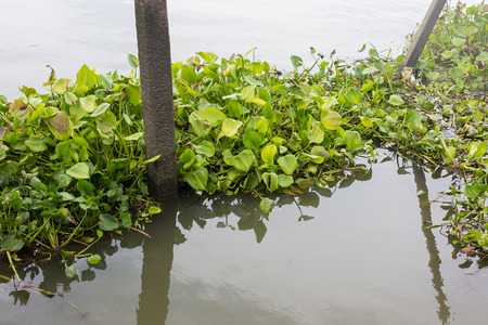 water hyacinth: Water hyacinth floating on the river Stock Photo