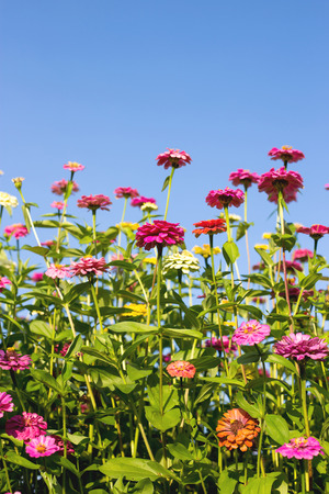 Beautiful Zinnia flowers in garden.
