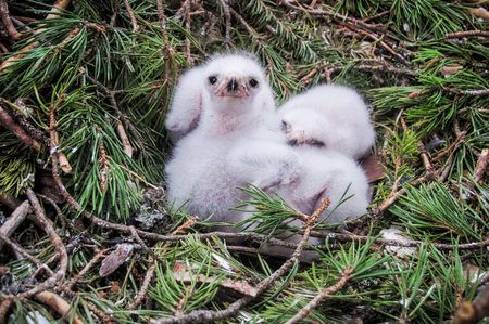 Small goshawk hawk chicks in their nest.