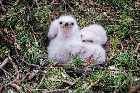 Small goshawk hawk chicks in their nest. 版權商用圖片 - 92237240