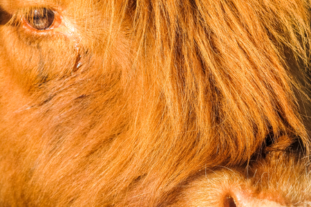 Closeup of a crying highland cattle cow who has to go to the slaughterhouse. Great background! Stock Photo