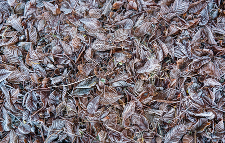 A background pattern of untouched frozen leaves from the plum tree and oaks.