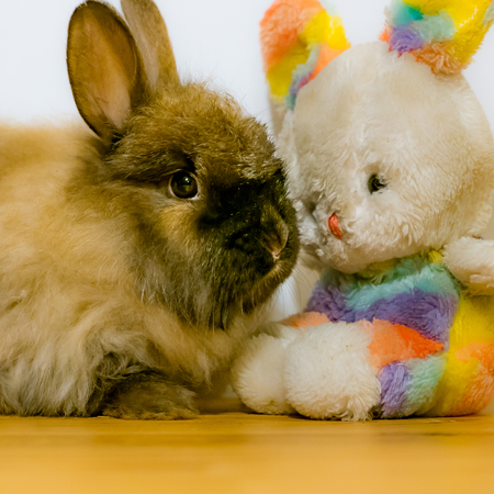 Real rabbit and toy easter bunny sitting very close together on wooden table.