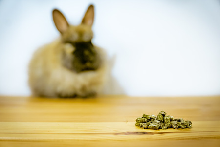 Befriending a new pet. This angora rabbit bunny kit is very shy. But a pile of pellets might win its trust. Stock Photo