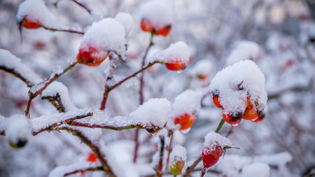 Coming of spring symbolised by melting snow on rose hips. Stock Photo