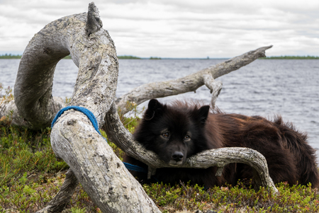 A black dog resting in a natural wilderness area with water in the background. Stock Photo