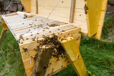 Bees getting ready to swarm on a top bar hive in summer. Stock Photo